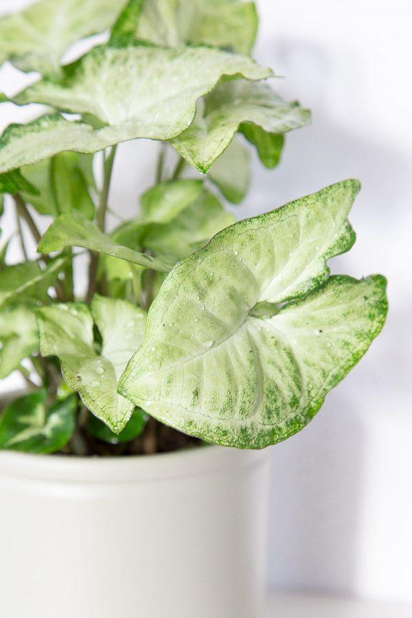 Syngonium podophyllum com vaso Urban Jungle
