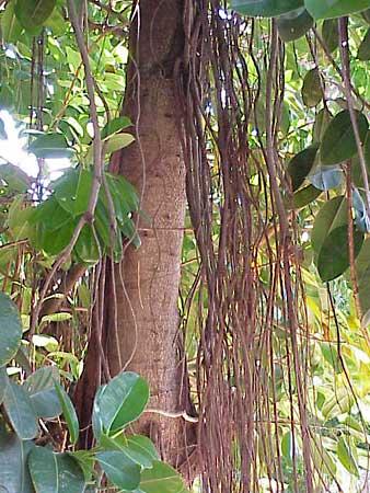 Ficus elastica floresta