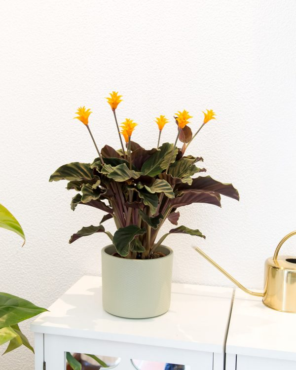 Calathea crocata Urban Jungle