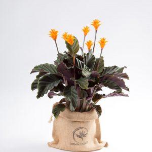 Calathea crocata Urban Jungle