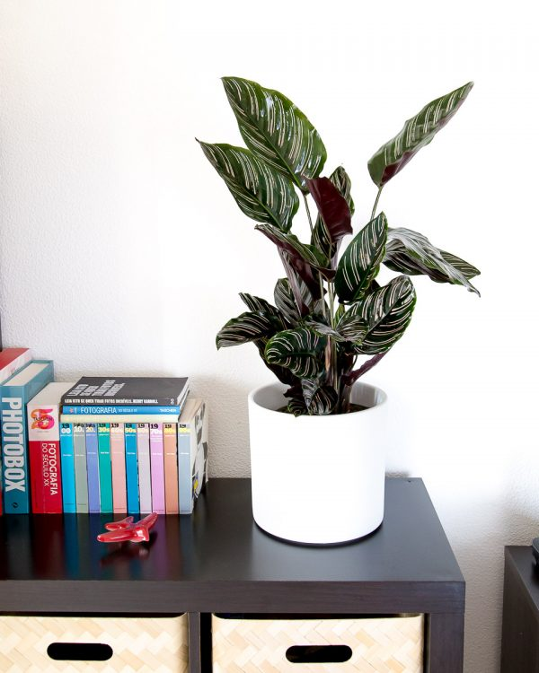 Calathea ornata sanderiana urban jungle
