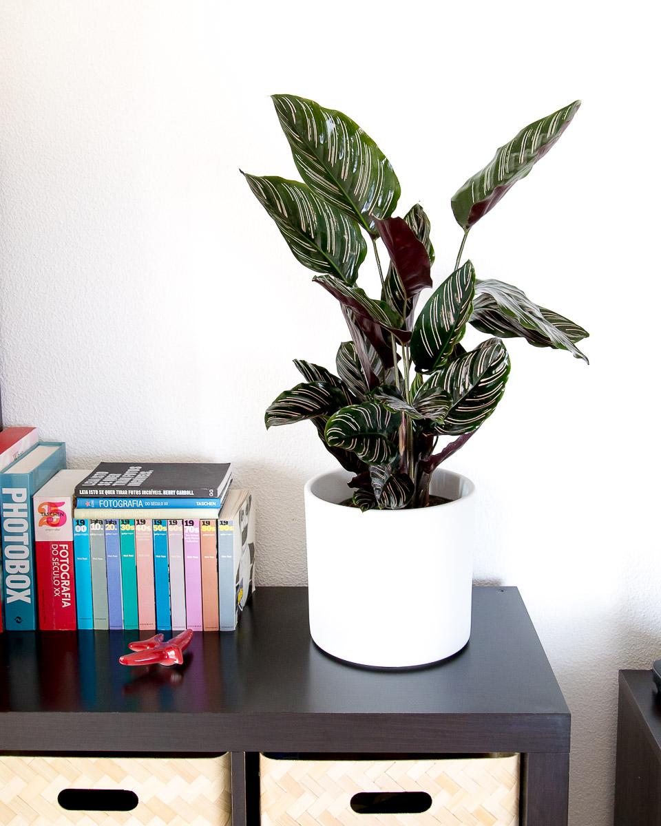 Calathea ornata sanderiana urban jungle