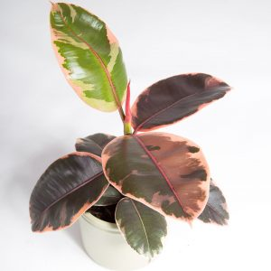 Ficus elastica ruby urban jungle