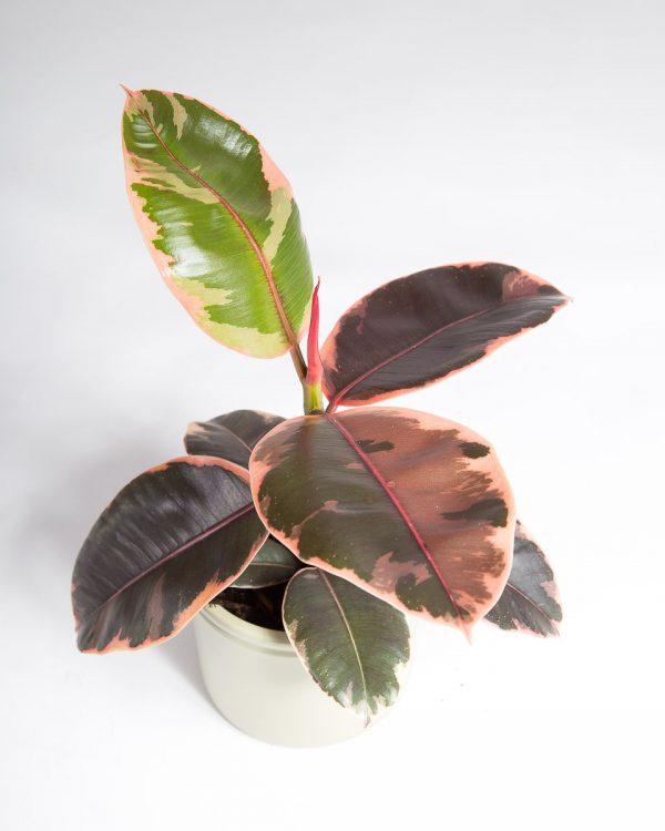 Ficus elastica ruby urban jungle