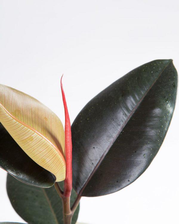 Ficus elastica abidjan urban jungle-2