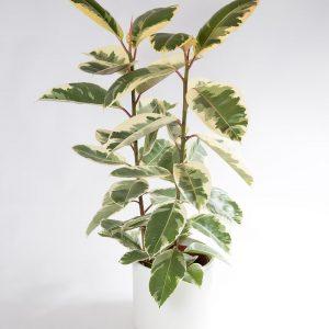 Ficus elastica tineke grande