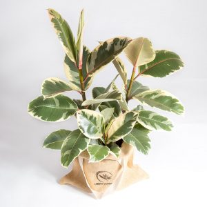 Ficus tineke urban jungle