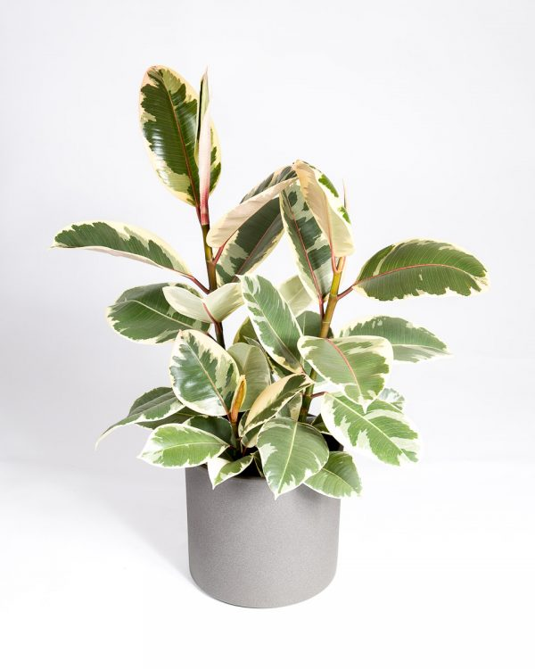 Ficus elastica tineke urban jungle
