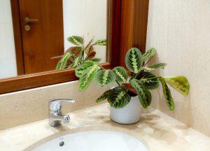Plantas para casas de banho - Maranta em WC