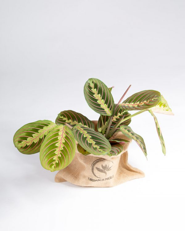 Maranta leuconeura urban jungle
