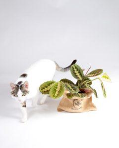 Maranta leuconeura e gato