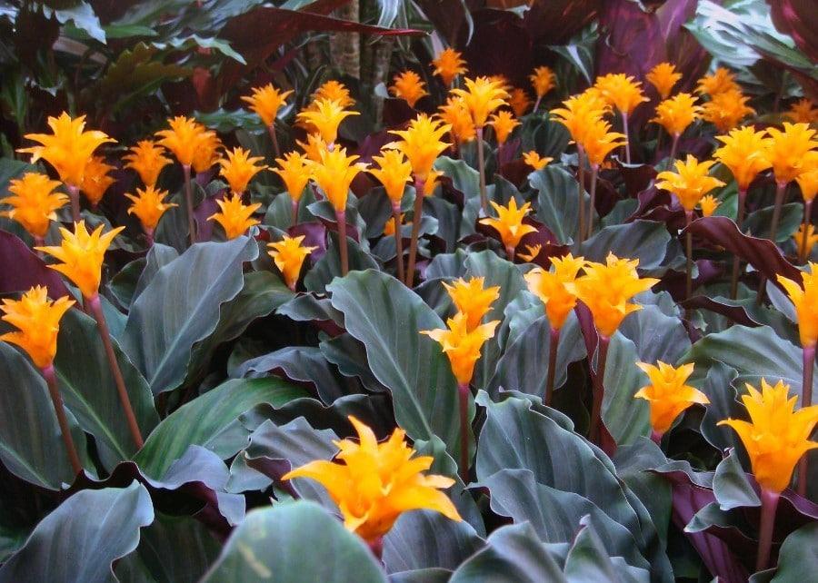 Calathea crocata flores