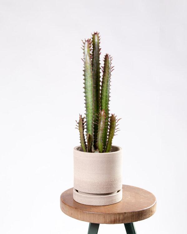 Euphorbia trigona rubra com vaso sigilo