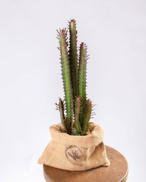 Euphorbia trigona rubra urban jungle
