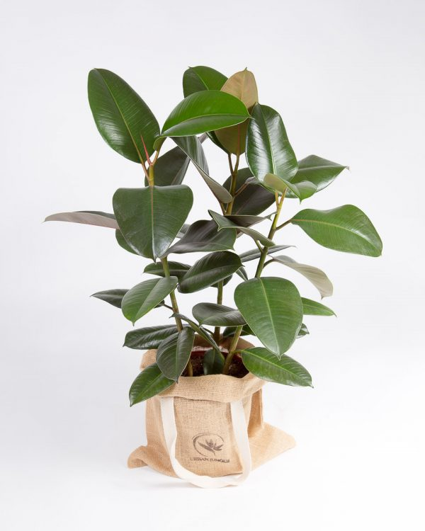 Ficus elastica robusta urban jungle-2