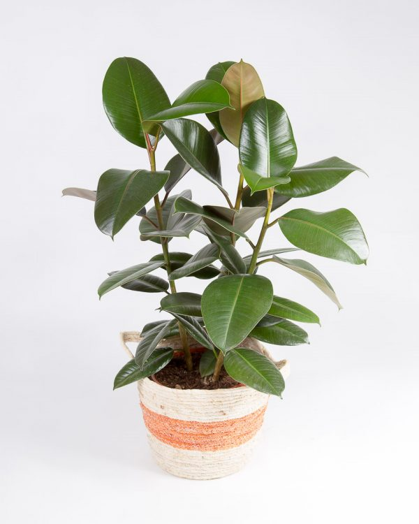 Ficus elastica robusta com cesto urban jungle