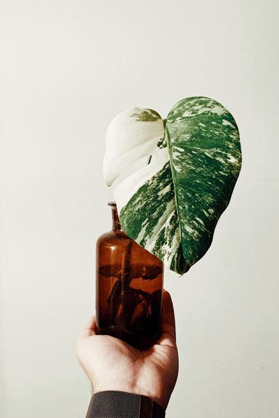 Propagar plantas em água - monstera variegata
