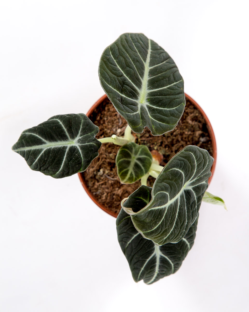 Alocasia Black Velvet Urban Jungle Comprar Plantas Online