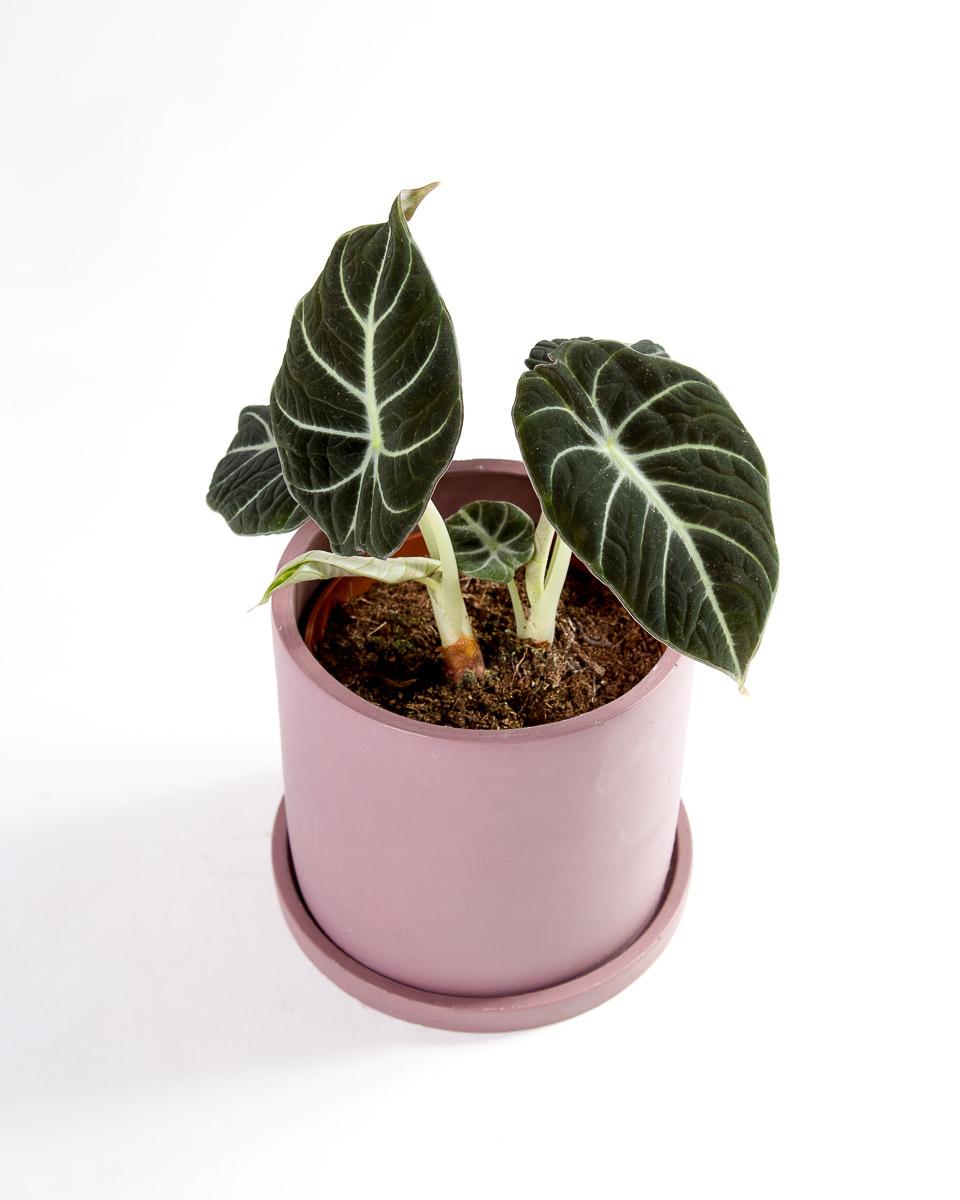 Alocasia black velvet com vaso urban jungle