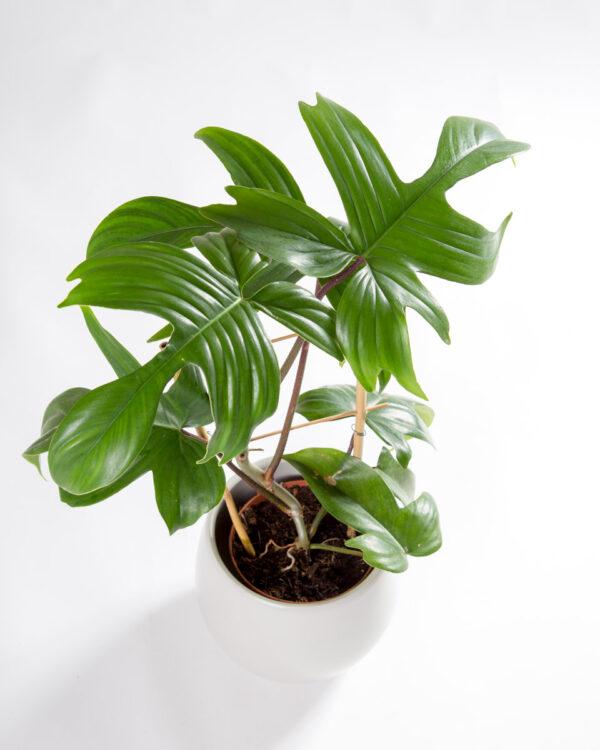 Philodendron Florida Green pedatum