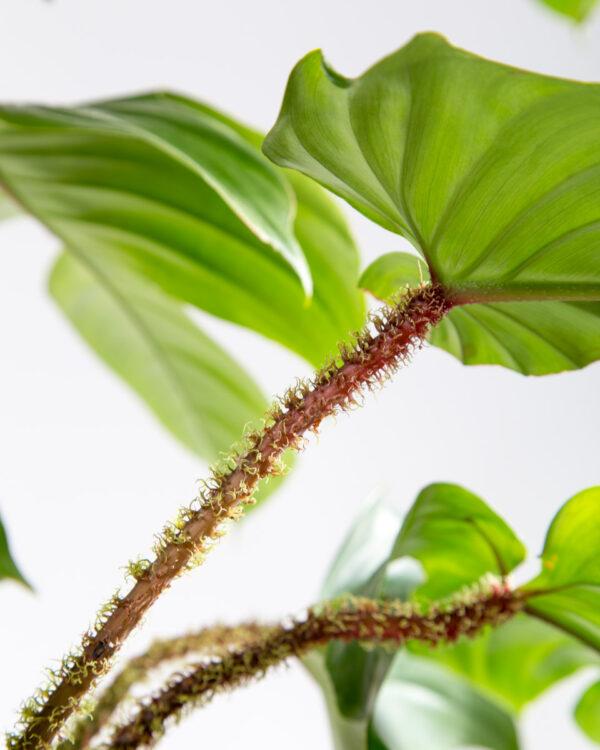 Philodendron squamiferum folhas