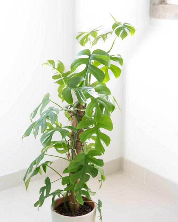 Rhaphidophora tetrasperma-philodendron minima