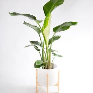 Strelitzia nicolai - Estrelícia gigante com vaso e suporte