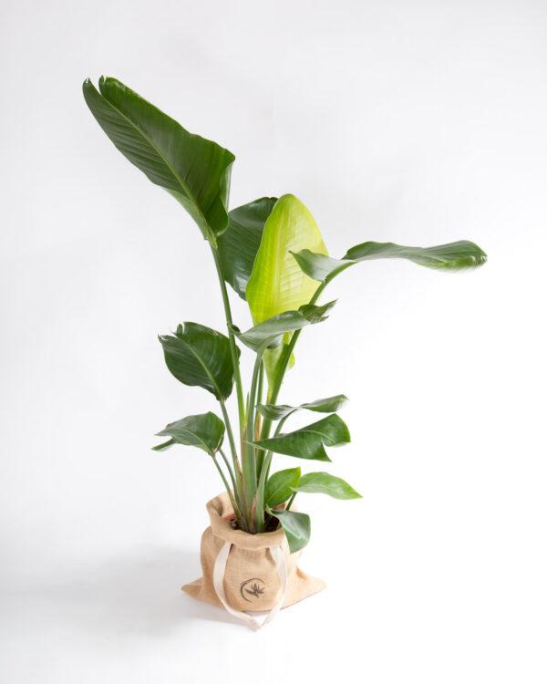 Strelitzia nicolai - Estrelícia gigante