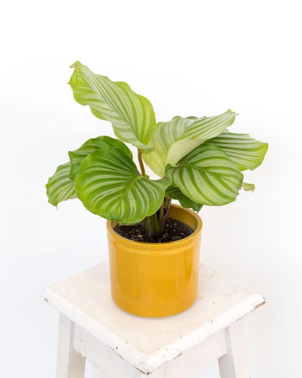 Vaso Lucca XS caril Calathea orbifolia