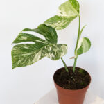 Monstera deliciosa variegata S