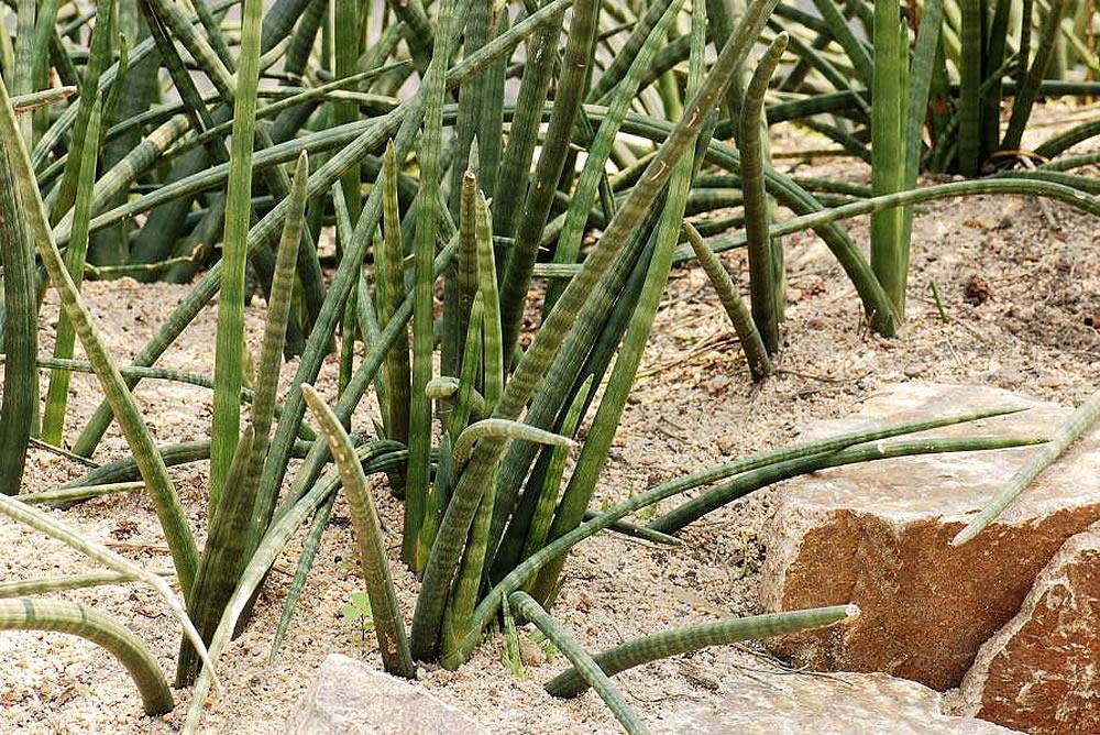 Sansevieria cylindrica habitat natural