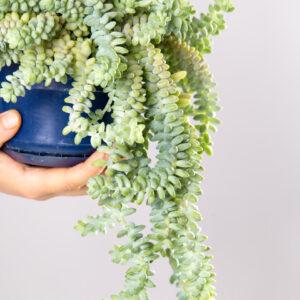 Plantas Pendentes