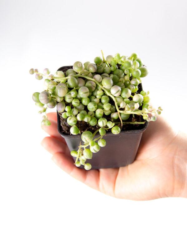 Senecio rowleyanus colar de pérolas variegata