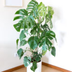 Monstera variegata grande