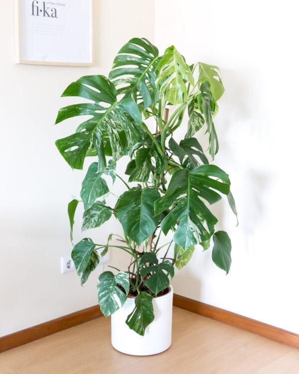 Monstera variegata grande