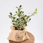 Azevinho de natal - ilex aquifolium