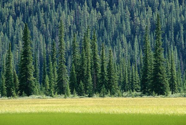 Picea glauca floresta Canadá