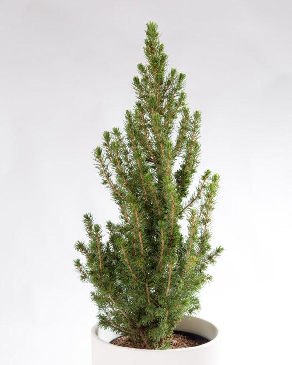 Árvore de Natal Natural - Picea glauca