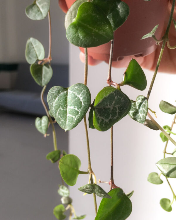Ceropegia woodii - string of hearts-2