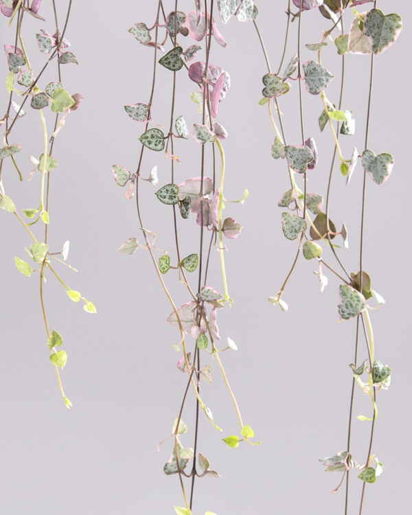 Ceropegia woodii variegata - string of hearts