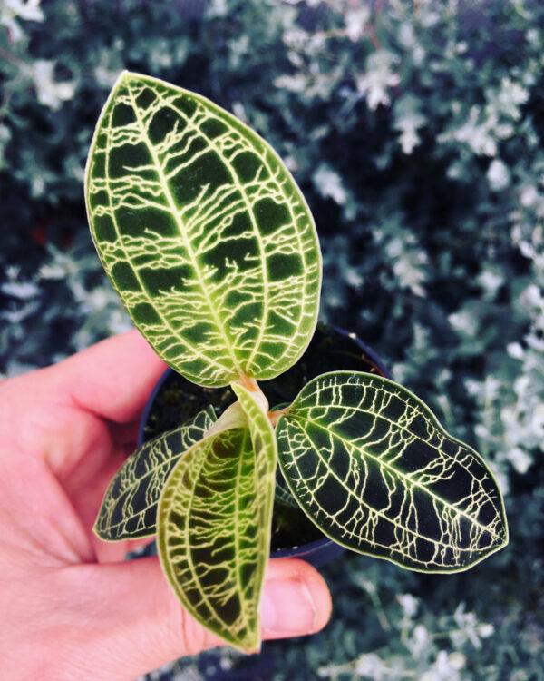 Macodes petola orquidea joia