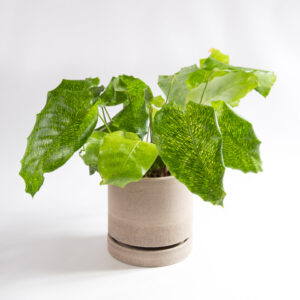 Calathea musaica com vaso