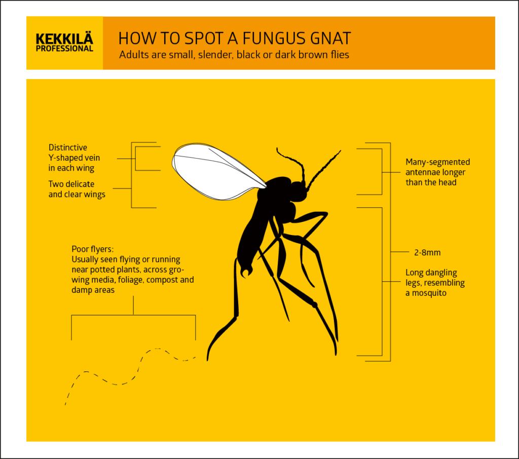 Fungus gnats mosquito das plantas anatomia