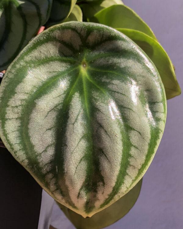 peperomia argyreia melancia