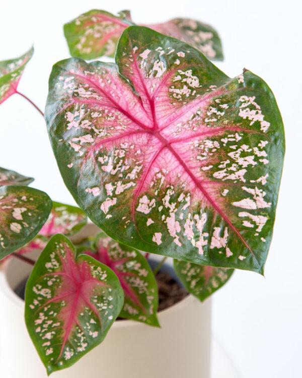 Calaldium bicolor comprar