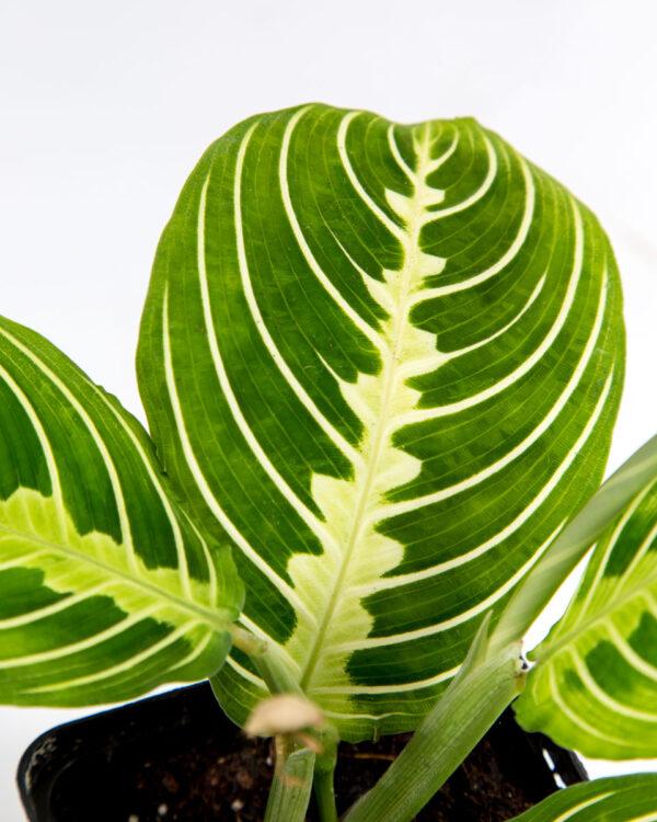 Maranta Lemon Lime