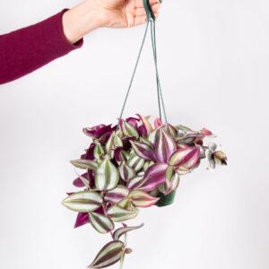 Tradescantia zebrina tricolor