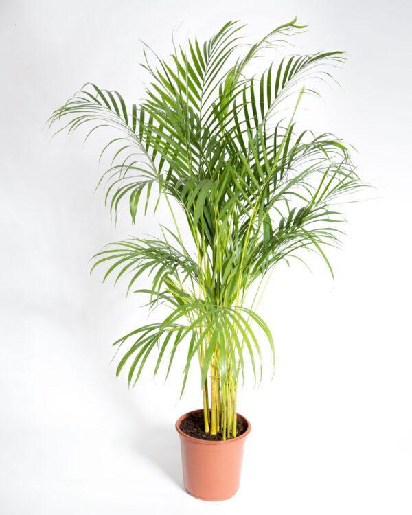 Palmeira areca dypsis lutescens