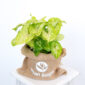 Syngonium Golden Feel Green