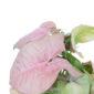 Syngonium Neon Rosa
